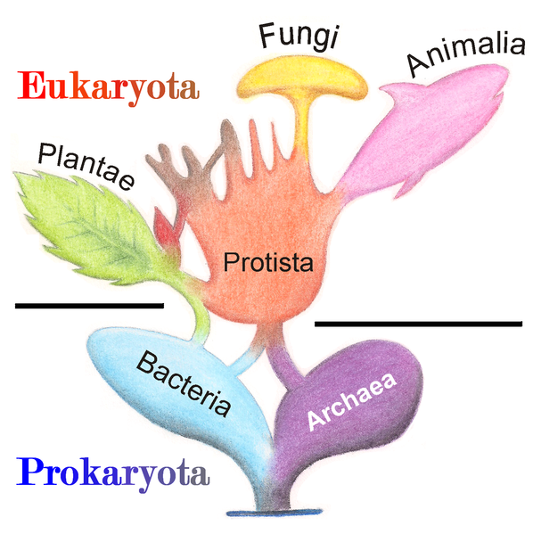 Eukaryota tree © Wikimedia/Maulucioni y Doridí