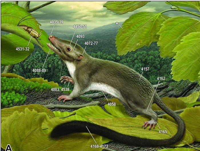 The placental ancestor according O'Leary et al. Image: Carl Buell, O'Leary et al, Science 2013.
