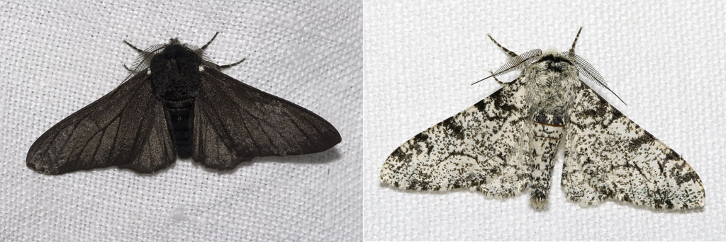The dark and light form of Peppered moth. The dark-coloured formes became prevalent at polluted areas, because they provided better camouflage from the predators. This is first experimental case of natural selection, which is central part of Darwin's theory of Evolution.
