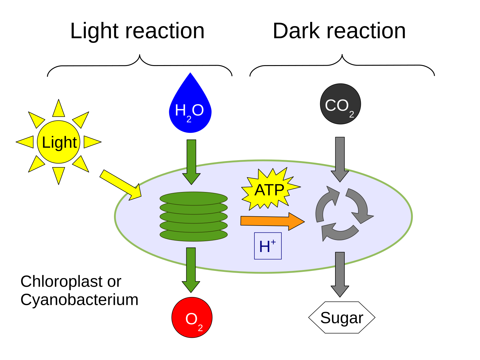 Aikavaellus photosynthesis oxygen producing photosynthesis in light reaction water is broken down and light energy is converted to the chemical energy in dark reaction sugars are ccuart Gallery